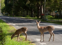 The Town of Wilson is a deer-friendly community.